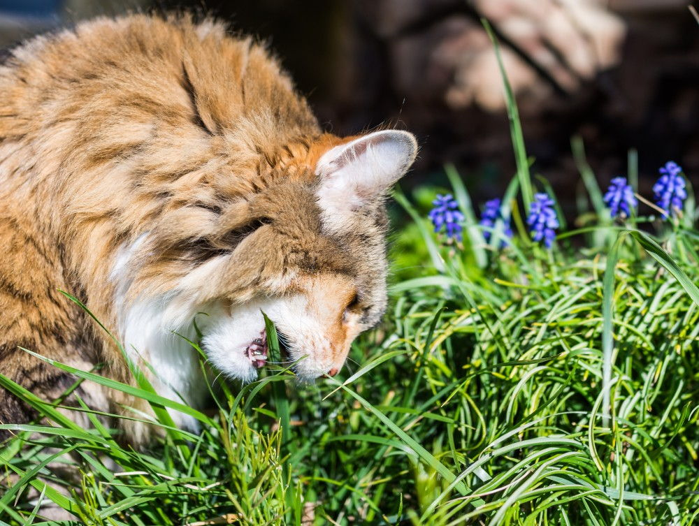 Зачем кошки и коты едят траву?