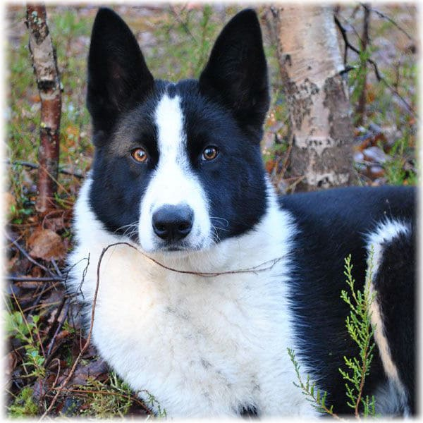 Карельская медвежья собака (Карельская медвежья лайка)