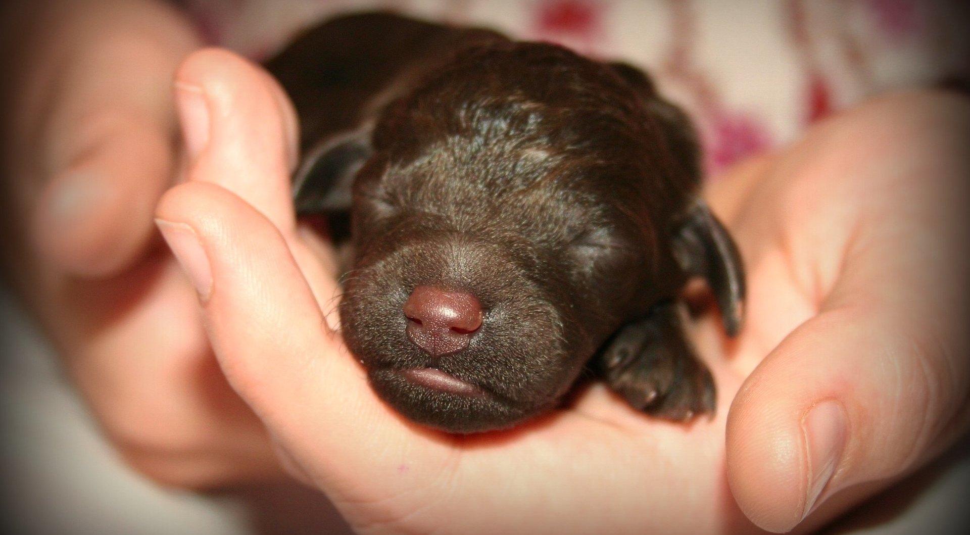Когда щенки открывают глаза после рождения