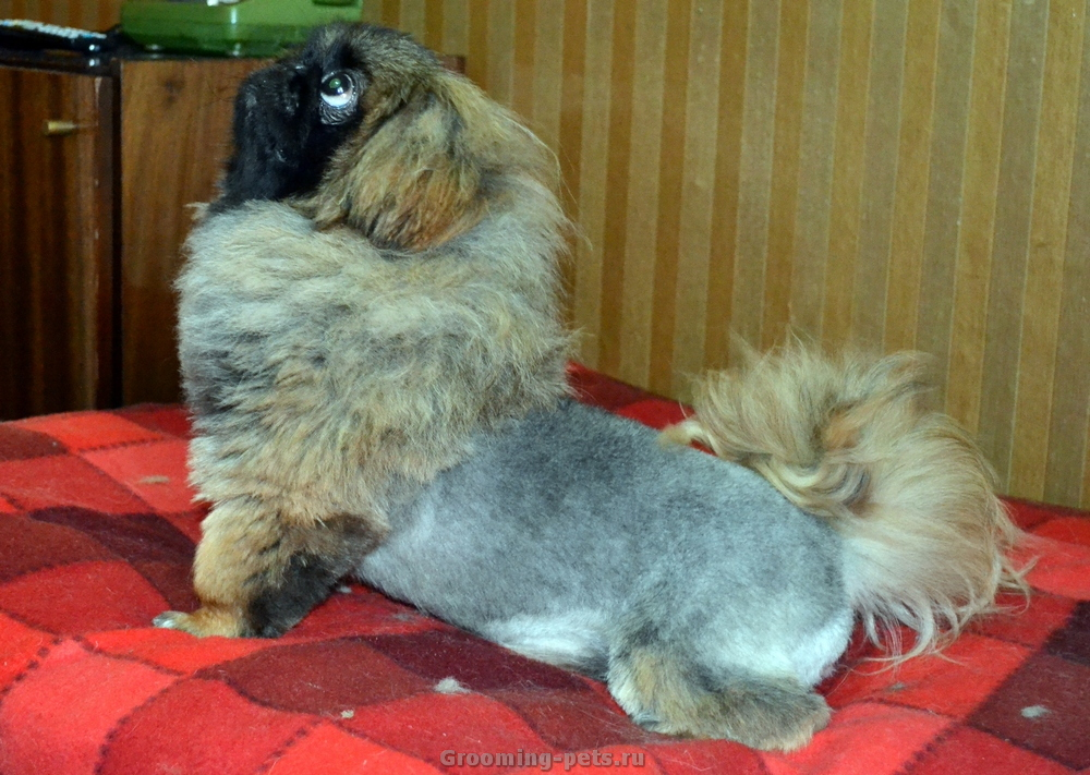 Стрижка пекинеса: как подстричь в домашних условиях