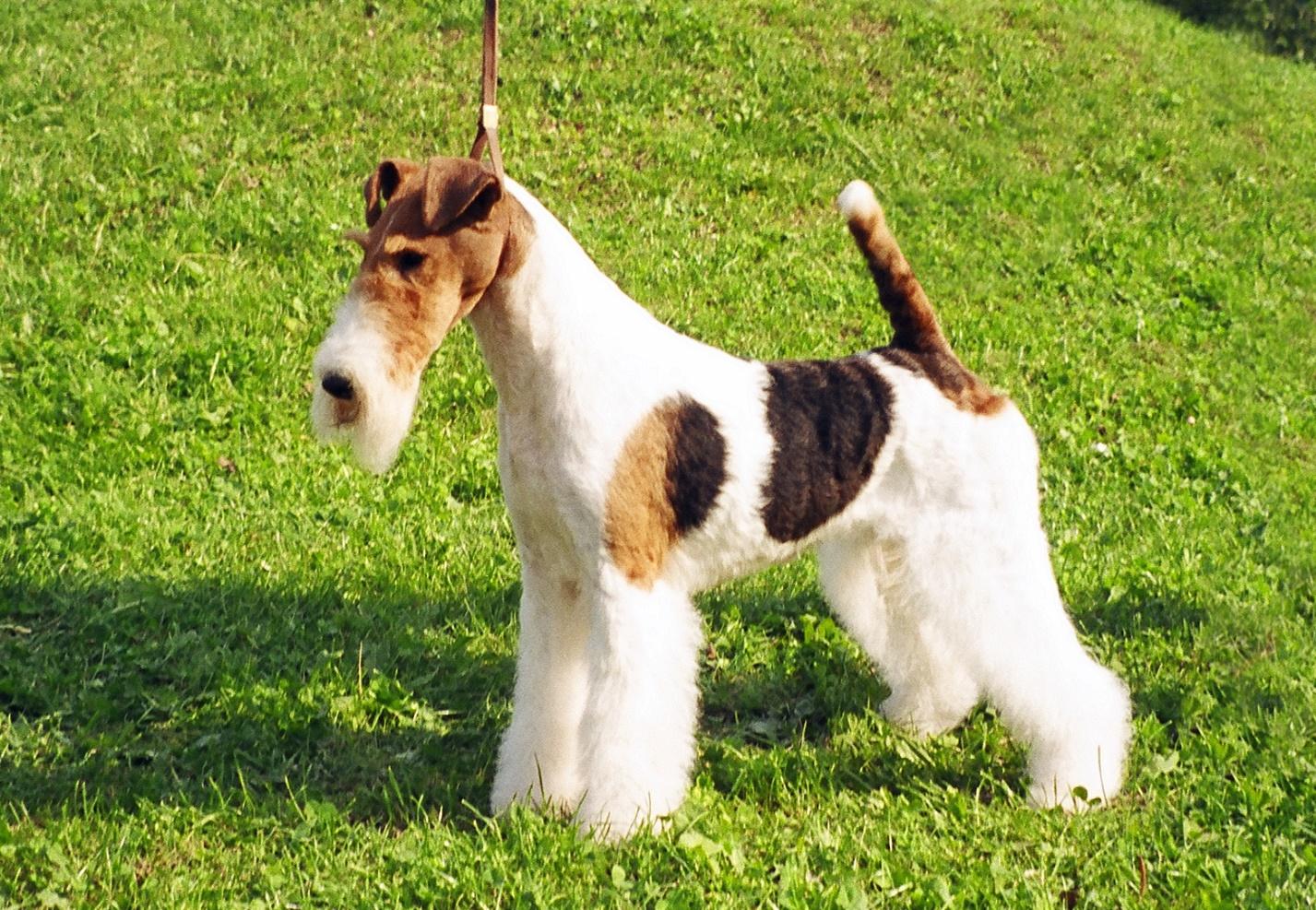 Жесткошерстные породы собак