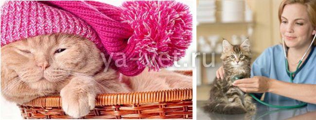 Простуда у кошек: может ли кот простыть или заразиться от человека