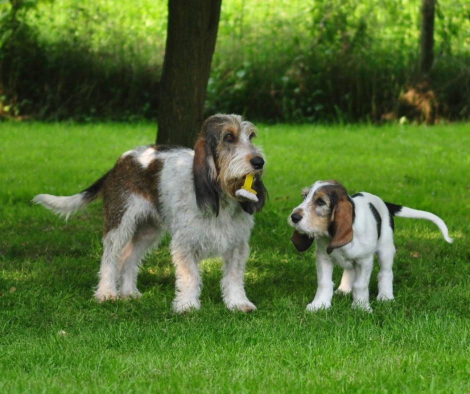 Вандейские гриффоны: забавные и шустрые собаки с очень непростым характером
