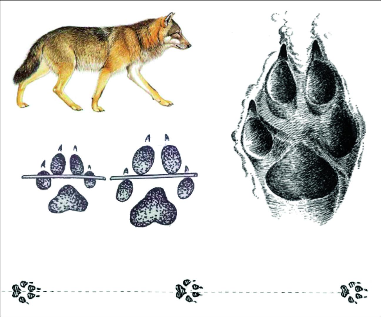 След собаки и волка: отличия отпечатков