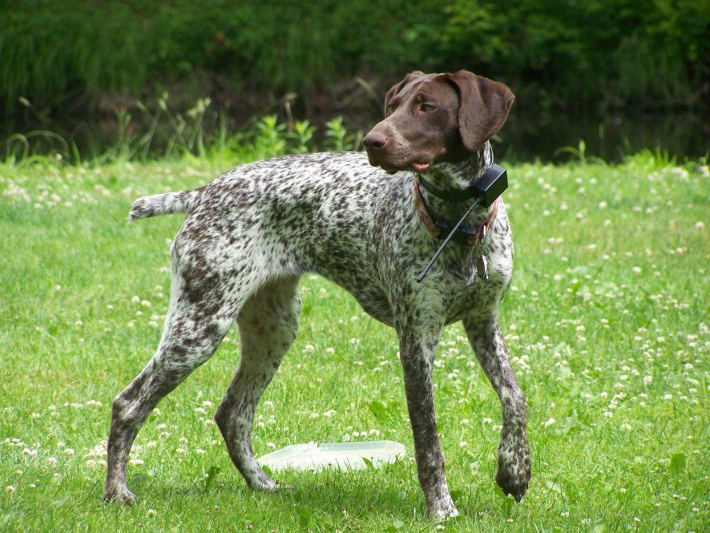 Легавые собаки — прирождённые охотники