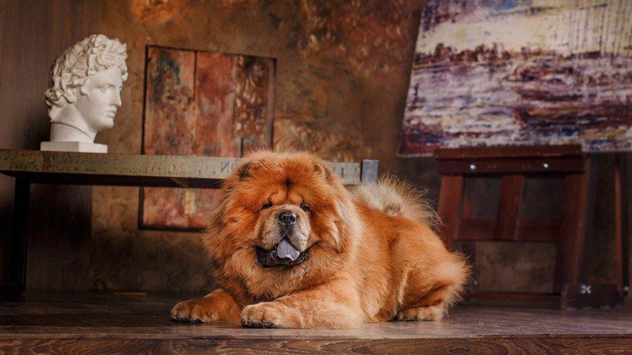 Чау-чау — порода собак
