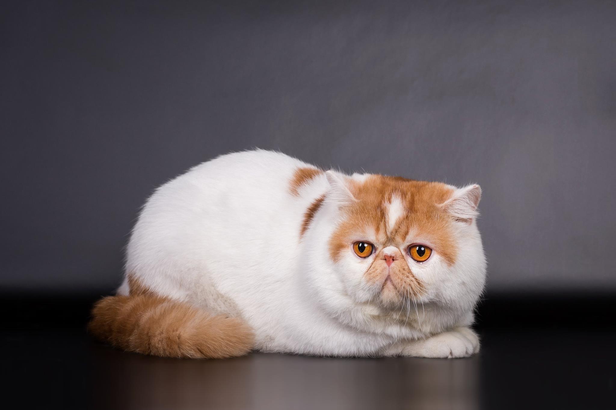 Экзотическая кошка — особенности породы, характер и уход