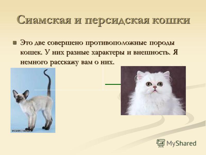 Рагамаффин: что это за порода кошек, описание