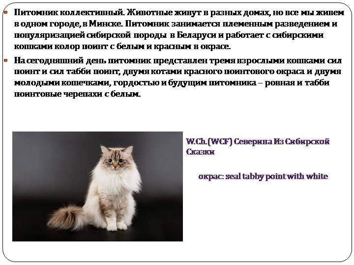 Сибирская кошка: характеристика и описание породы
