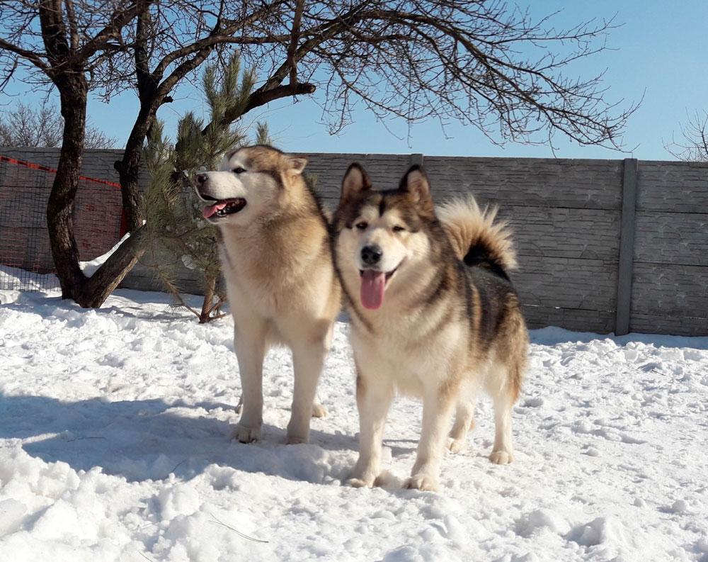 Аляскинский маламут: описание породы собак