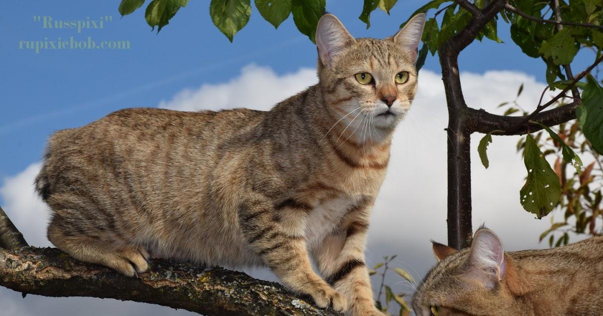 Порода кошек без хвоста: основные виды и их названия