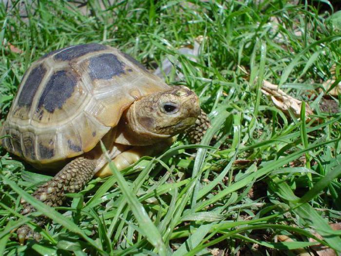 Сухопутная черепаха — как ухаживать в домашних условиях