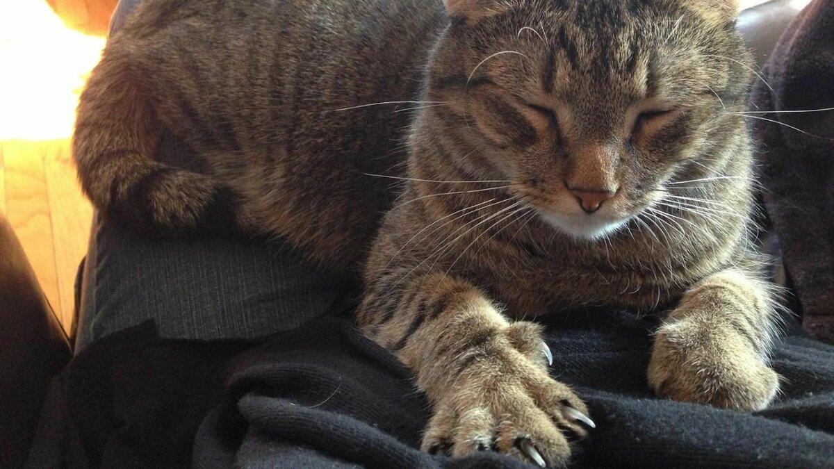 Почему кошка топчется передними лапками