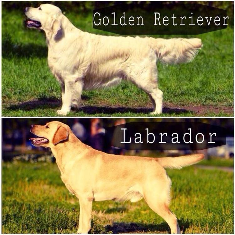 Как отличить лабрадора от золотистого ретривера