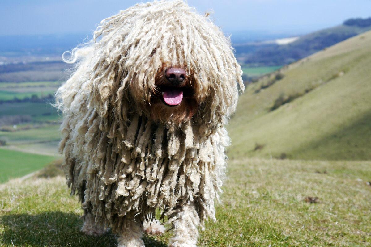 Собака крупная серая лохматая