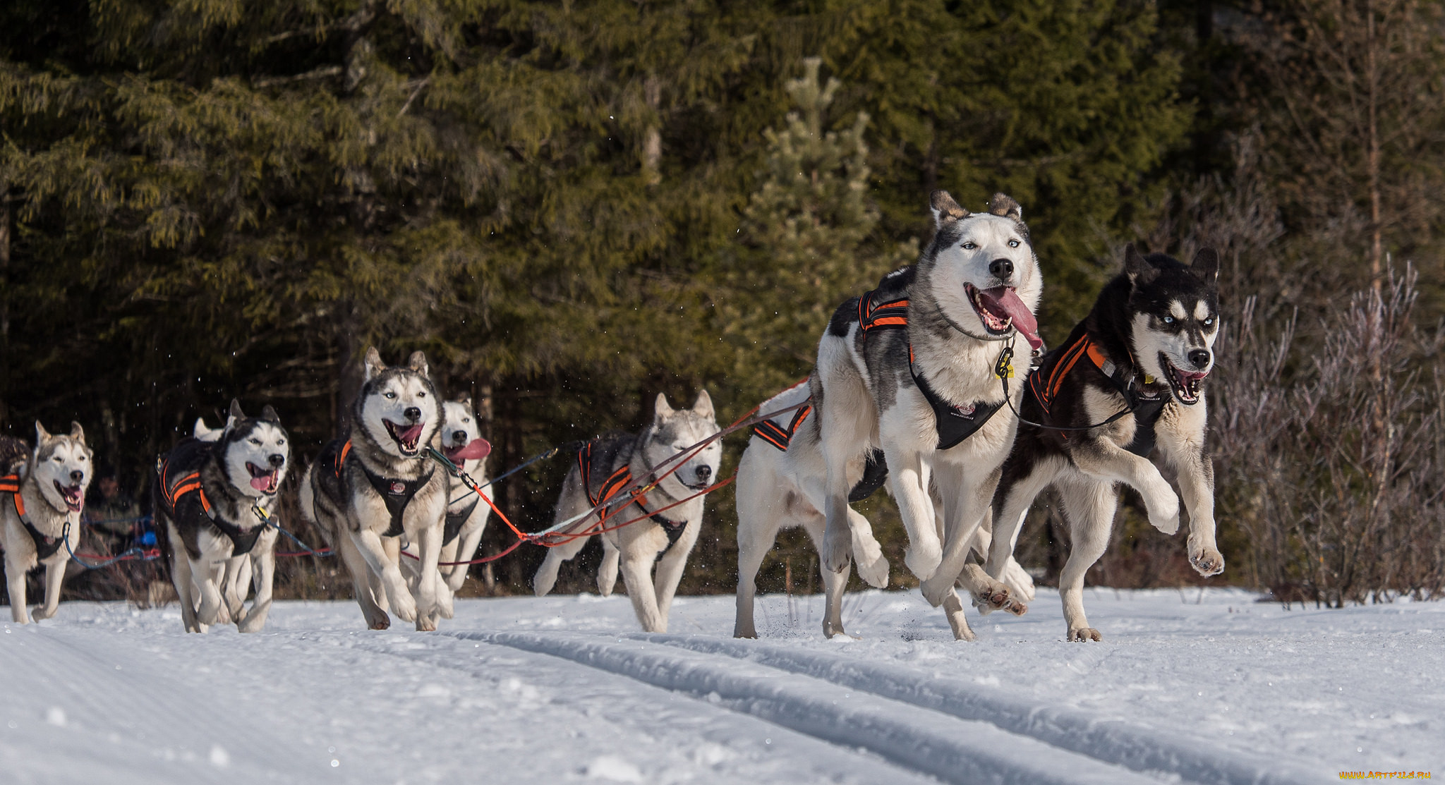 Ездовые собаки: породы северных питомцев в упряжке