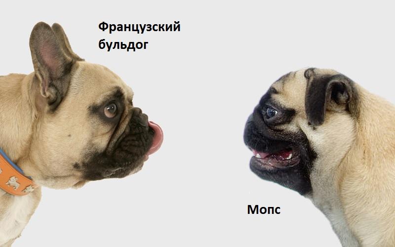 Сравнение пород: чем французский бульдог отличается от мопса