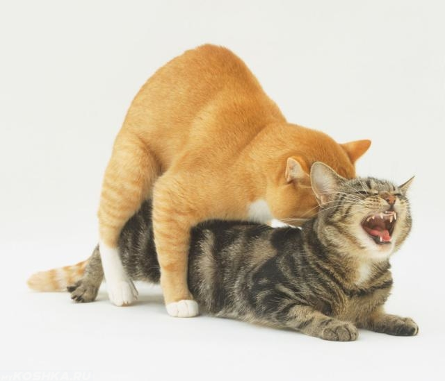 Спаривание кошек: сколько длится половой акт и когда можно вязать