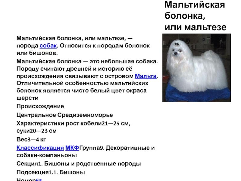 Мальтийская болонка (мальтезе): описание породы