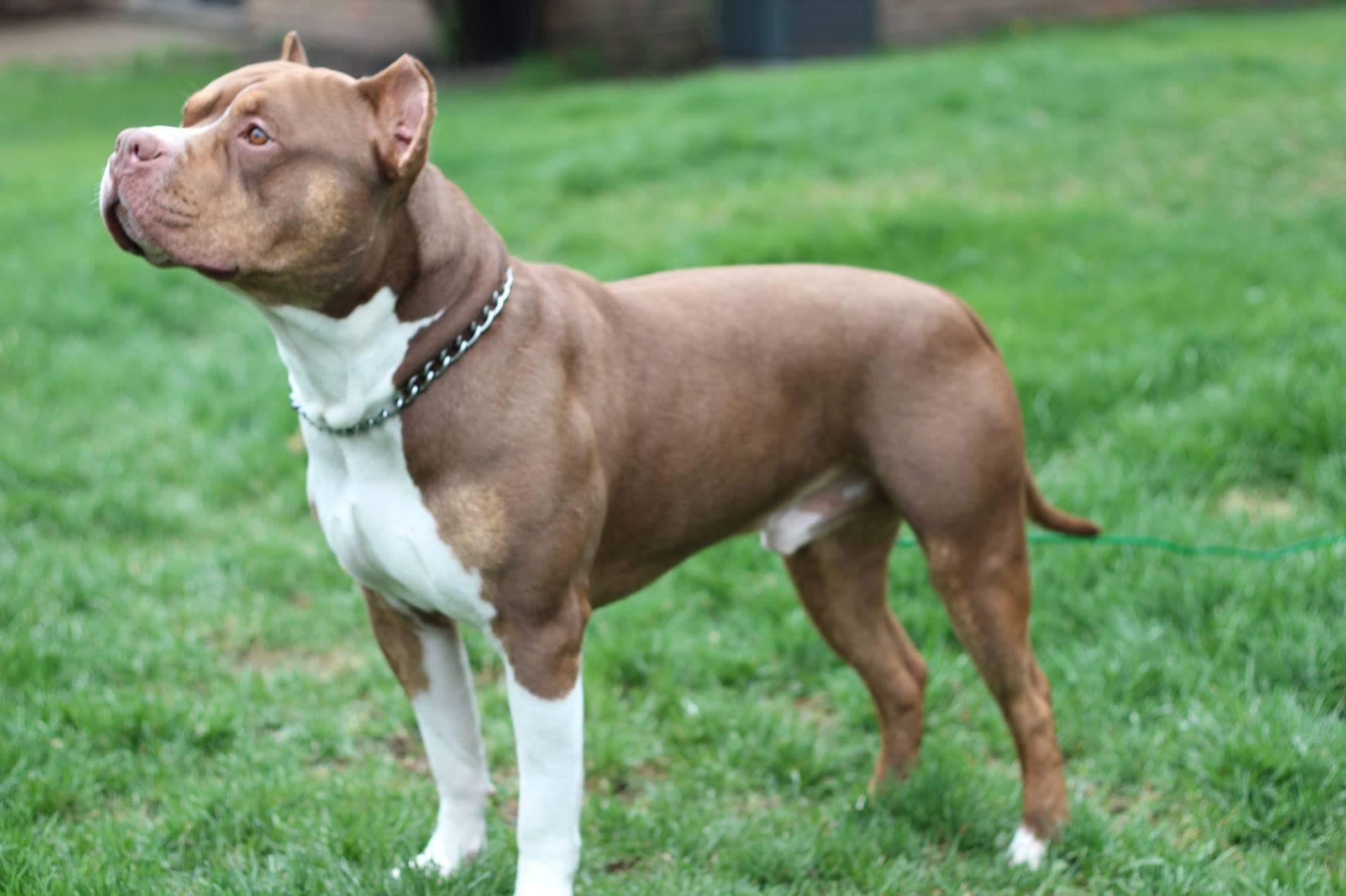 Бойцовские собаки: виды пород, список, какая самая сильная