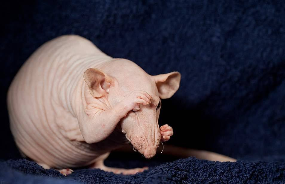 Лысая крыса — что это за разновидность, характеристика породы