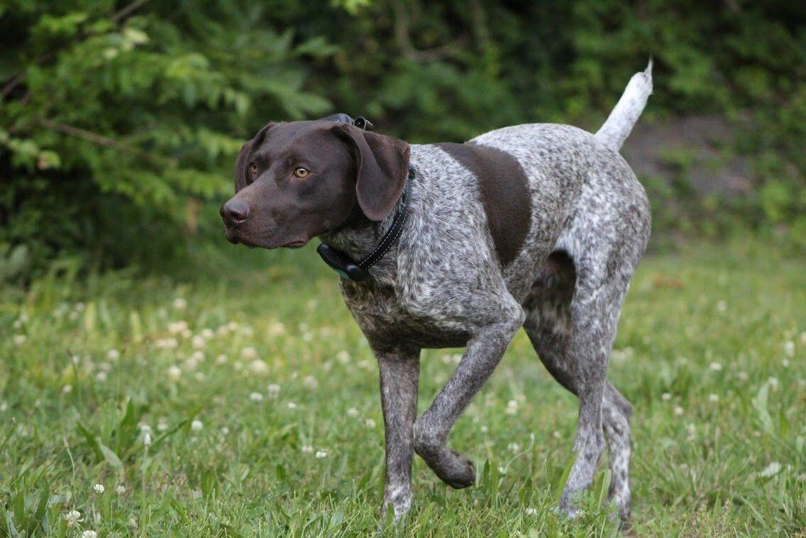 Курцхаар (немецкая короткошерстная легавая ) — порода собаки