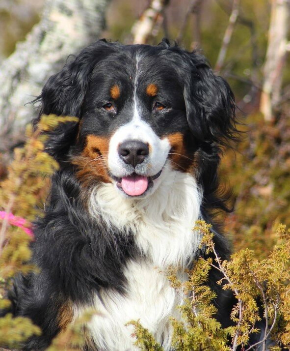 Самые спокойные породы собак