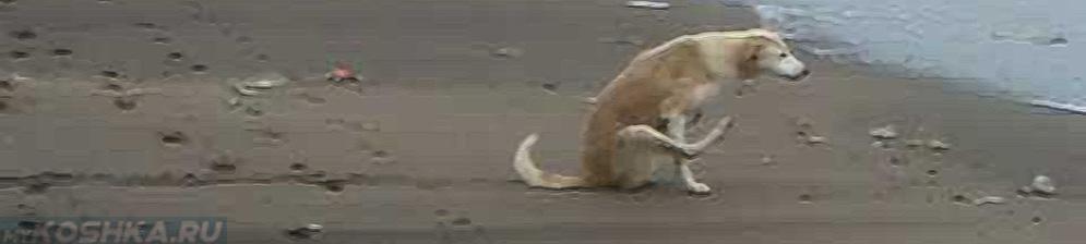 Почему собака ездит на попе по полу: что это значит