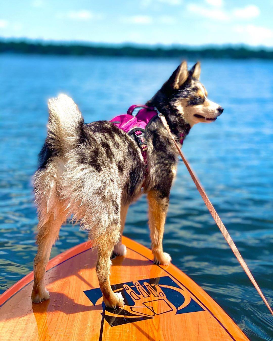 Помски (собака): описание породы, характер