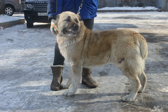 Кавказская овчарка и Азиатский алабай: сравнение пород