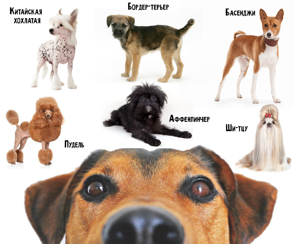 Собака у которой выпадают глаза: обзор пород
