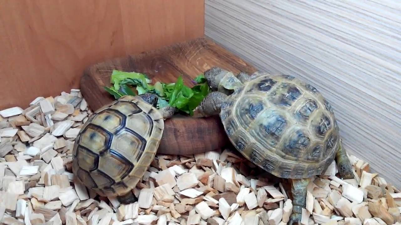 Домашняя черепаха — питание, уход и сколько стоит