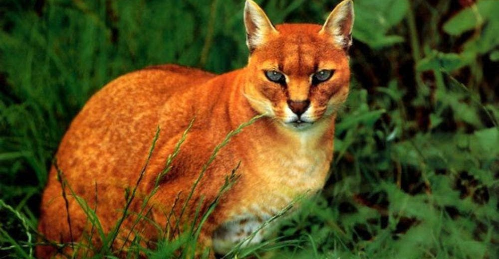 Золотая африканская кошка — редкая красавица