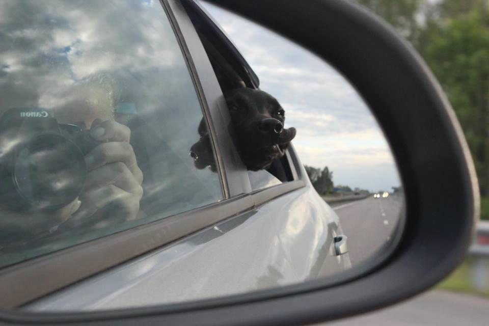 Собаку укачивает в машине: что делать, чтобы не тошнило