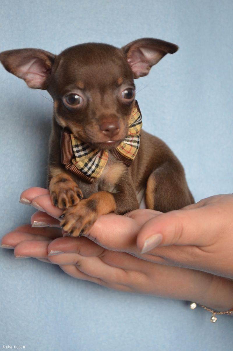 Карликовые собачки: краткий обзор пород и особенности содержания
