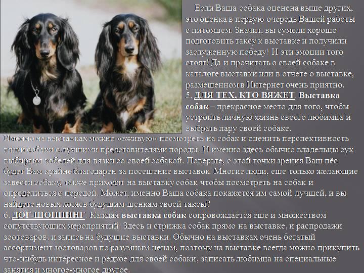 Такса (собака): описание породы и характера