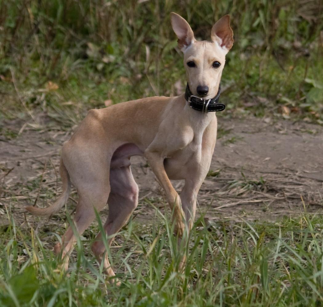 Левретка (собака): итальянская борзая порода