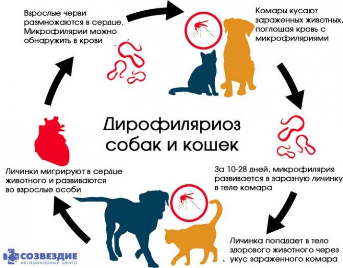Можно ли заразиться глистами от кошки