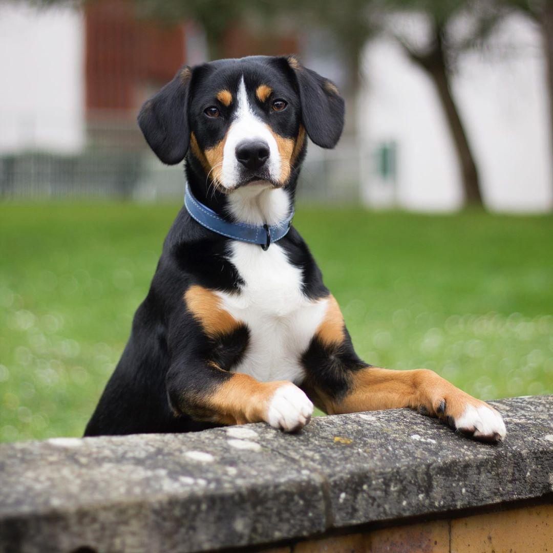 Энтлебухер зенненхунд: описание породы собак