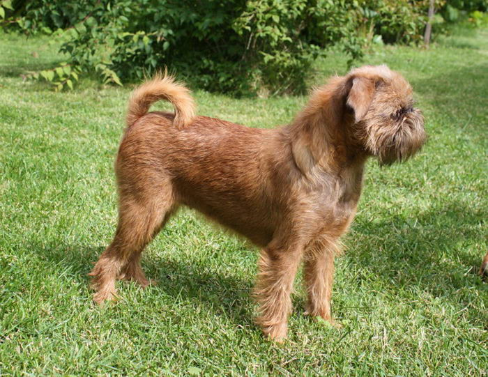 Гриффон (собака): брюссельская гладкошерстная порода