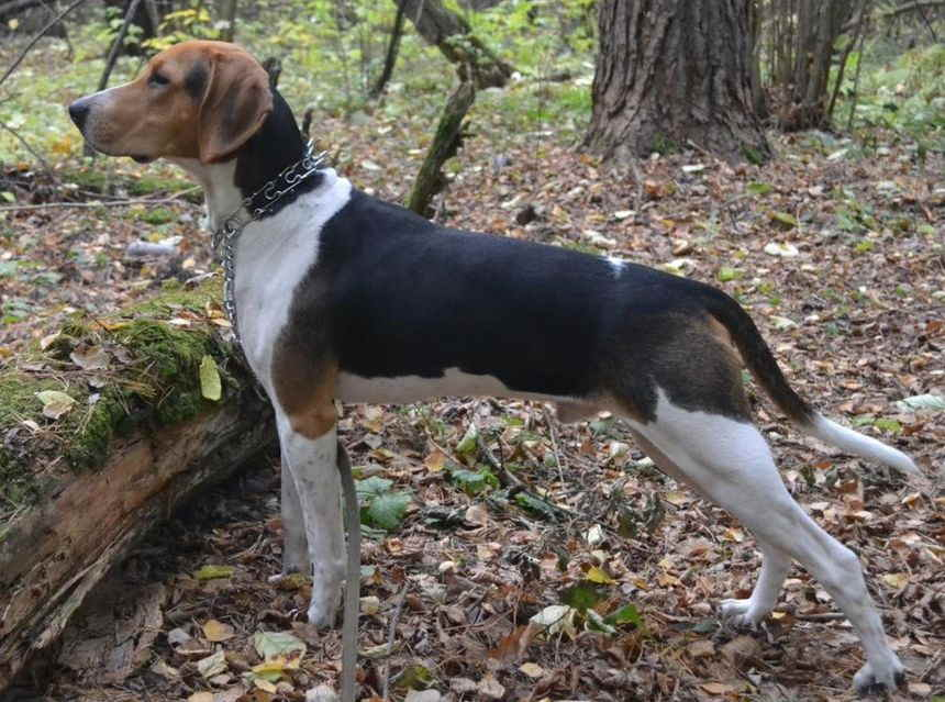 Эстонская гончая — шустрая охотничья собачка