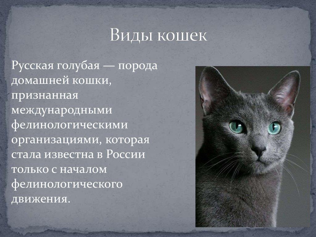 Русская голубая кошка: описание породы и характера