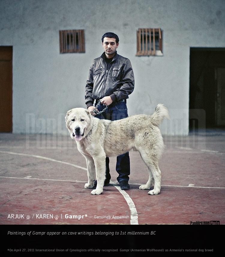 Армянский гампр (волкодав): сравнение с алабаем